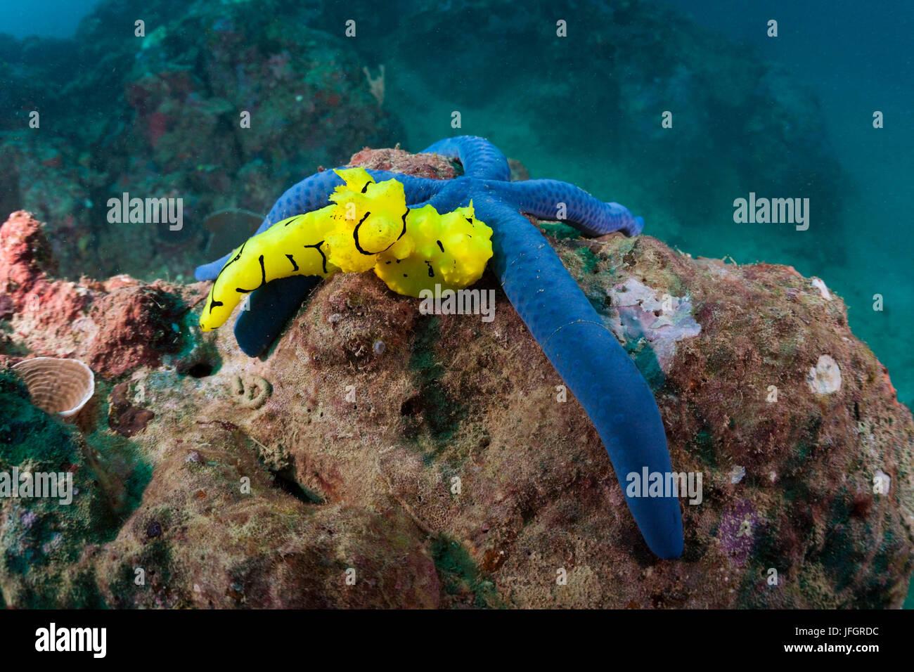 Gelbe Variable Neon Schnecke am Seestern, Notodoris minor, Florida Inseln, Salomonen Stockbild