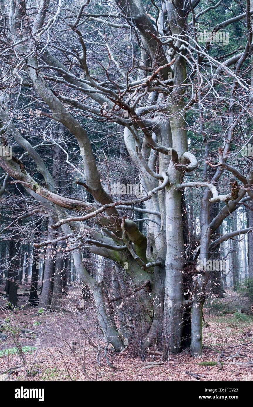 Buchenwald Auf Dem Taufstein, Vogelsberg, Hessen, Deutschland Stockbild