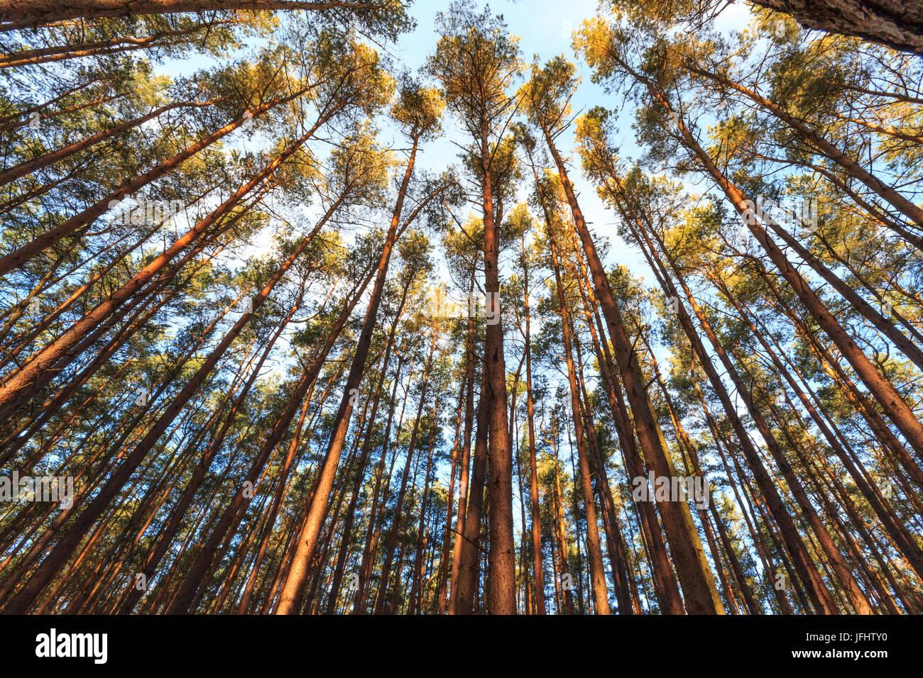 Bäume/Baumkronen im Wald Stockbild