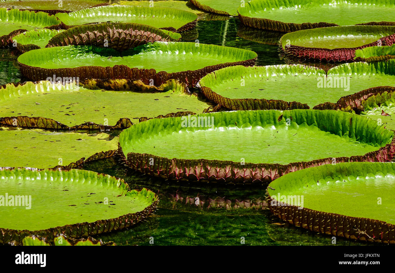 giant water lily pads in stockfotos giant water lily pads in bilder alamy. Black Bedroom Furniture Sets. Home Design Ideas