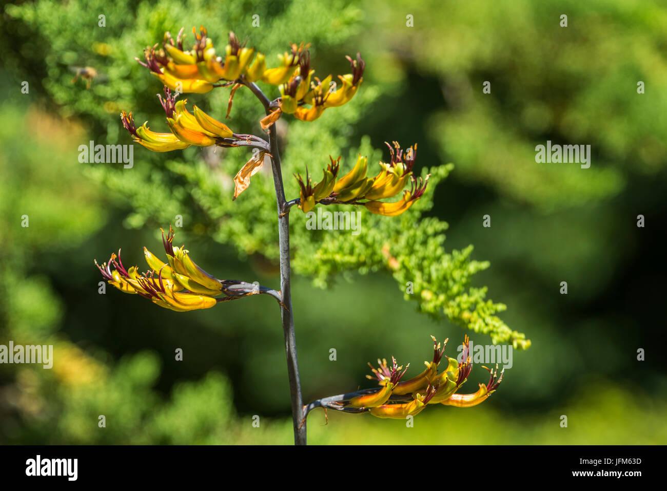 Ein Phormium Tenax Variagata in Blüte. Stockfoto
