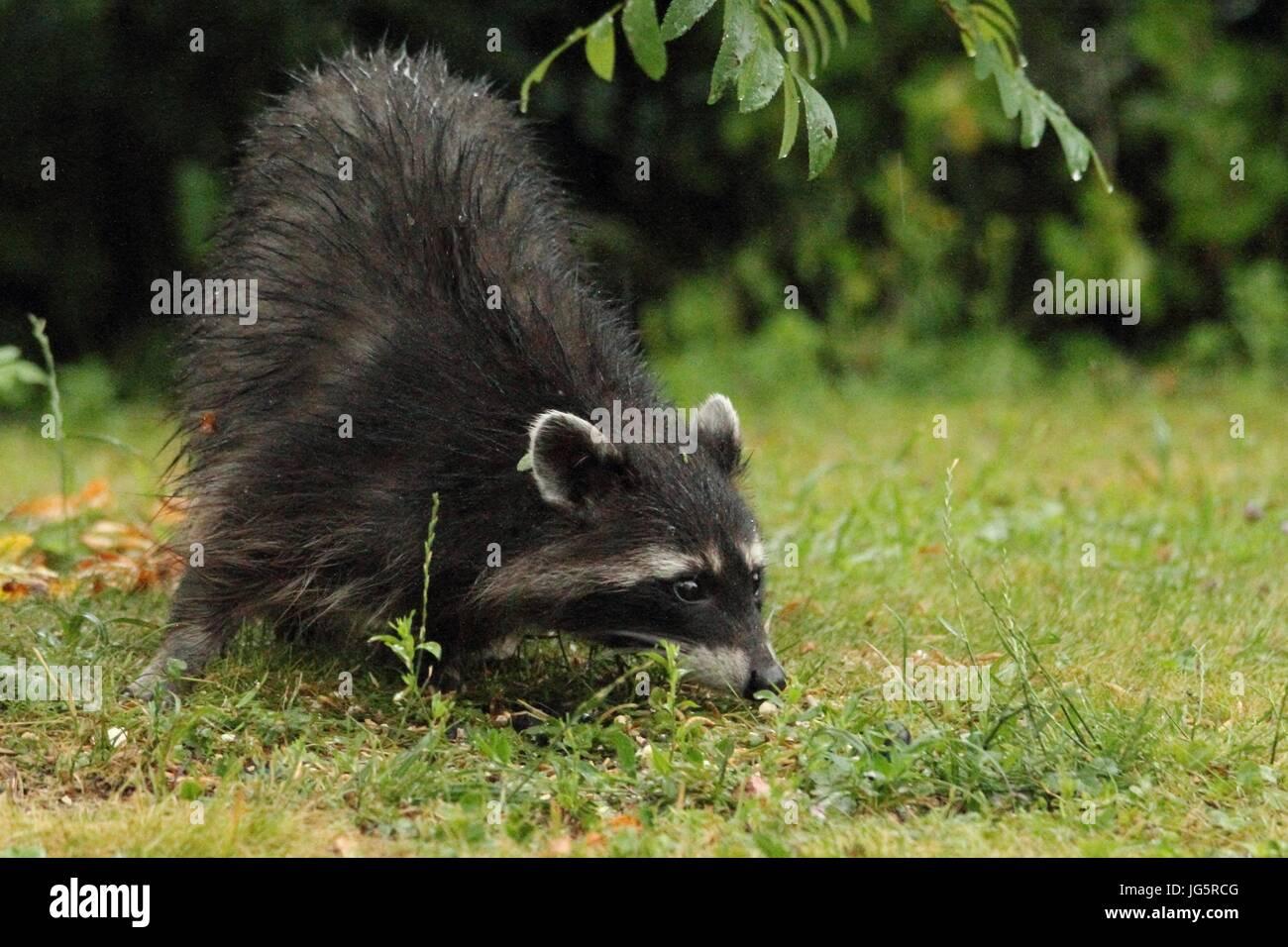 Waschbär ist auf der Suche nach etwas in der Wiese Stockfoto