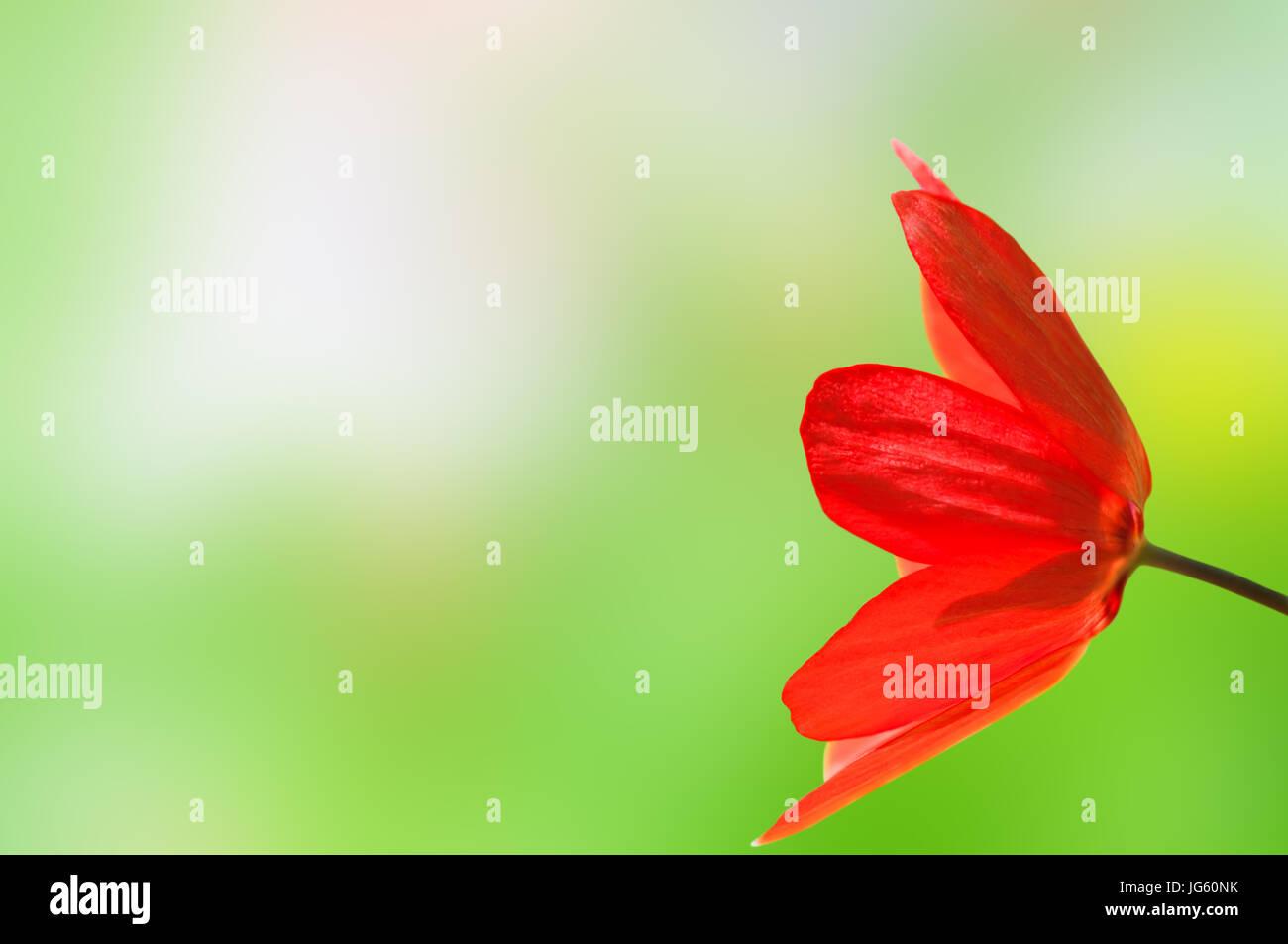 Seitlicher Blick auf eine helle rote Tulpe von rechts Rahmen ...