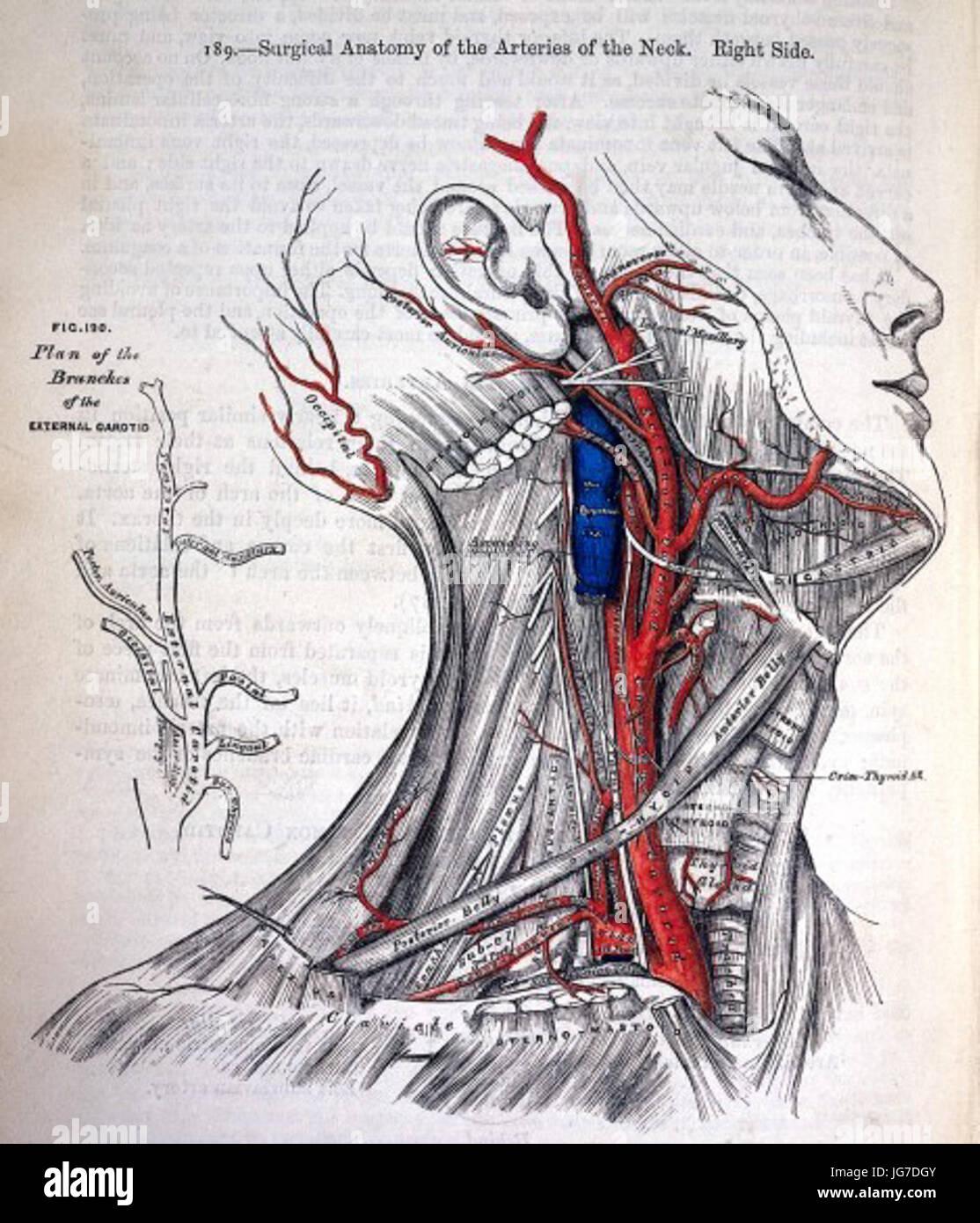 Chirurgische Anatomie der Arterien des Halses grau s Anatomie 1858 ...