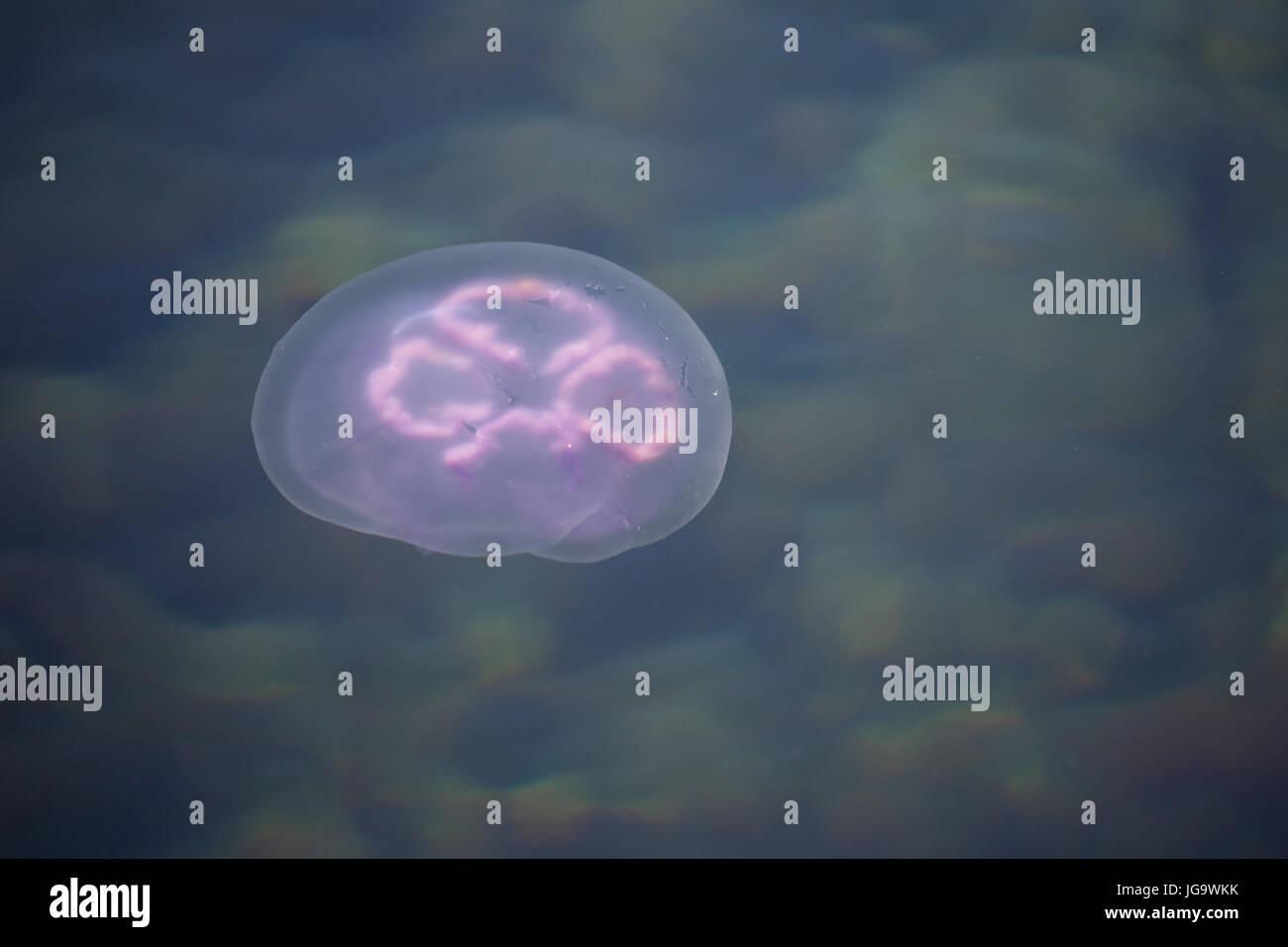 Ohrenqualle, Ohren-Qualle, Qualle, Quallen, Meduse, Aurelia Golden moon Mond Qualle, gemeinsame Quallen, Gelee, Stockfoto