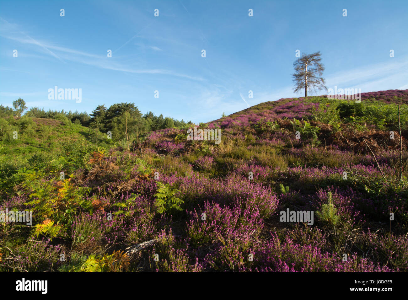 Blick über Ambersham Common in den South Downs National Park im Sommer mit lila Heidekraut und sanften Hügeln Stockbild