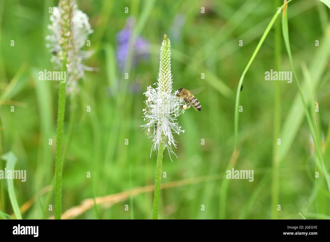 Makro der Polinates Biene auf der Blume Stockfoto