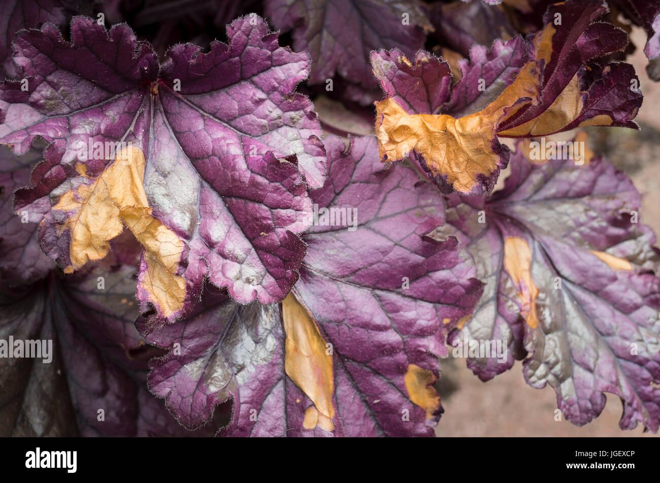 Ein Heuchera ewig violette zeigen Spätfrost Schaden im Juni in Großbritannien Stockbild