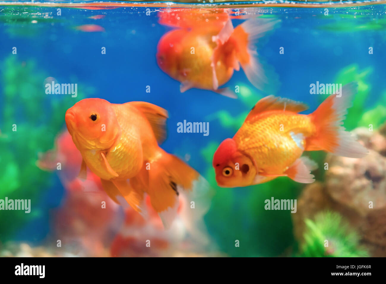 Gold tropical fish in aquarium stockfotos gold tropical for Goldfische im aquarium