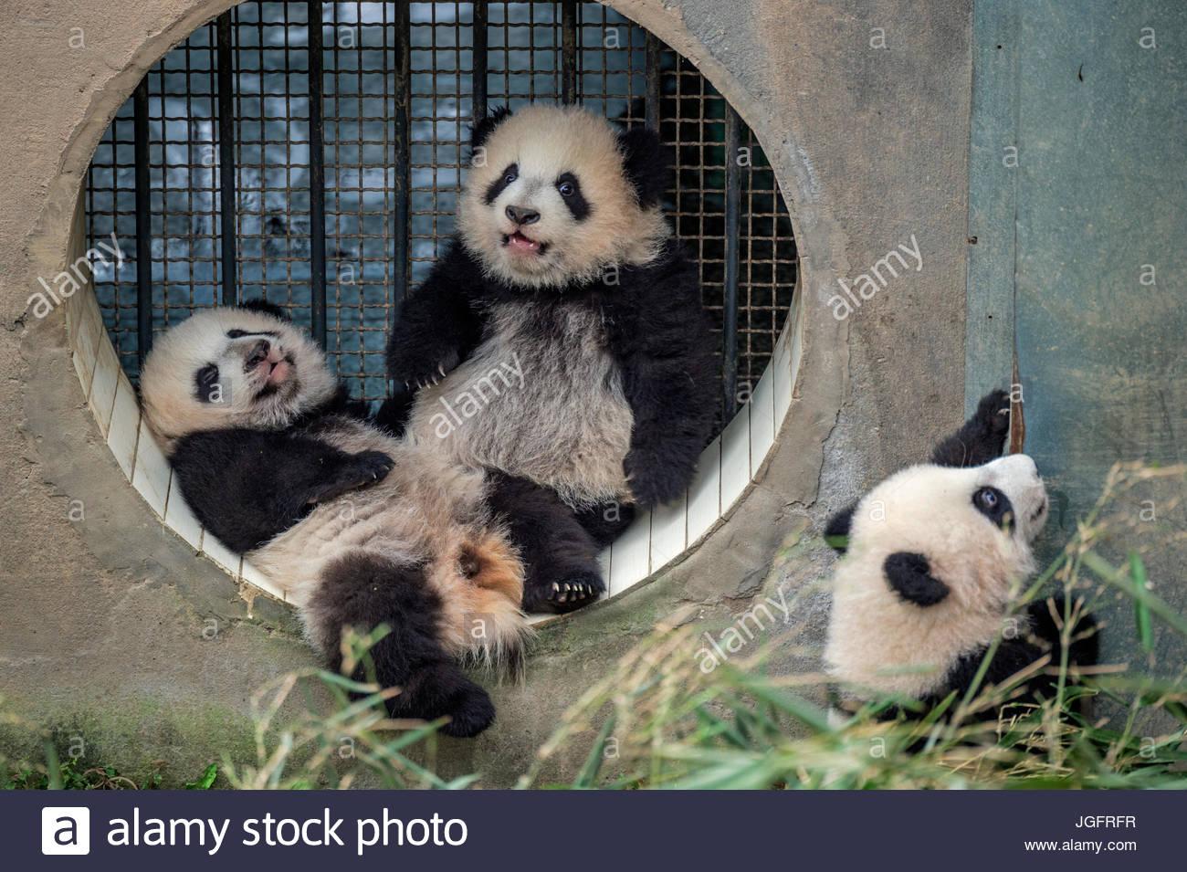 Drei riesige Baby Panda jungen durch eine alleinerziehende Mutter im Bifengxia Giant Panda Breeding and Research Stockbild