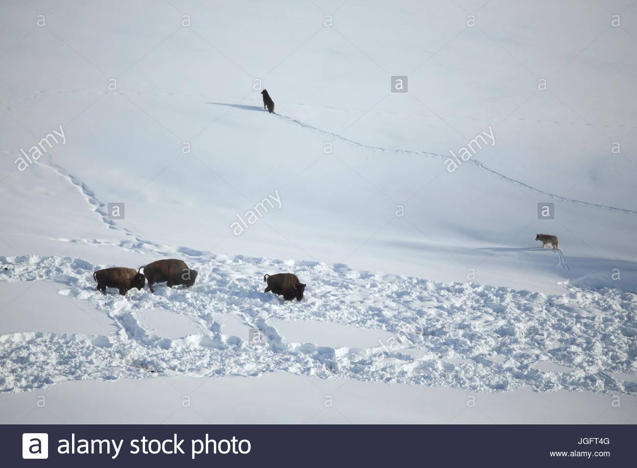 Graue Wölfe aus dem Mollie Pack konfrontieren Bison. Stockbild