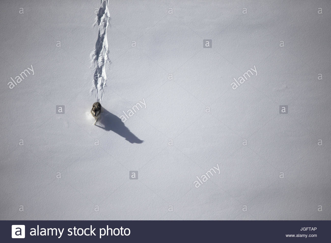Ein grauer Wolf unterwegs im Wyoming Yellowstone National Park. Stockfoto