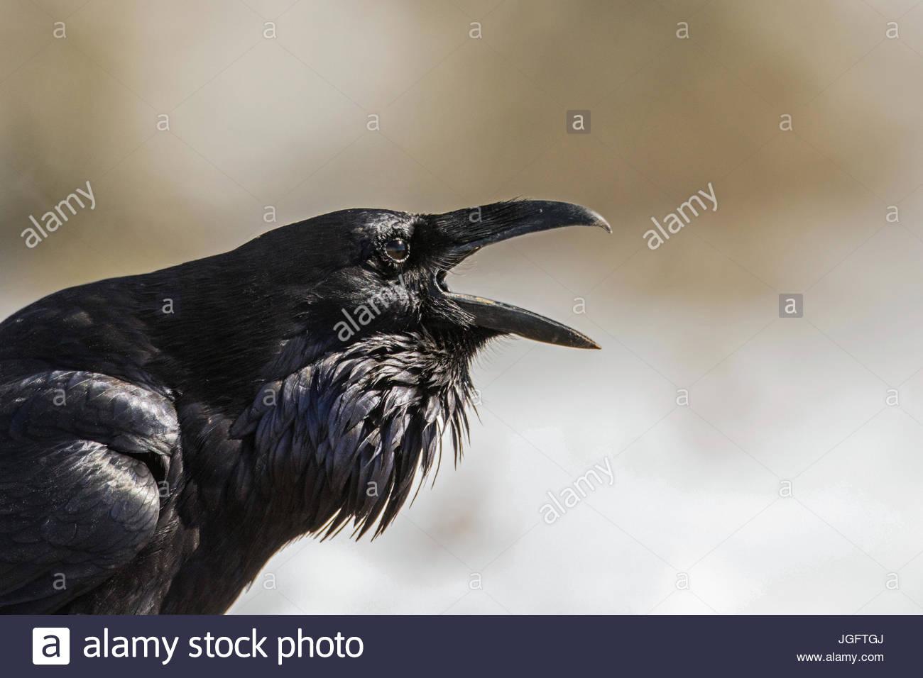 Eine gemeinsame Rabe, Corvus Corax, vocalizing in Wyoming Yellowstone National Park. Stockbild