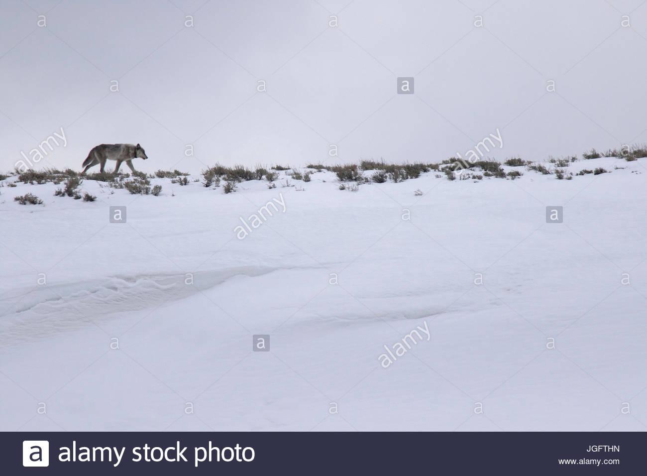 Ein männlicher grauer Wolf, Canis Lupus, ein Tracking-Halsband. Stockbild