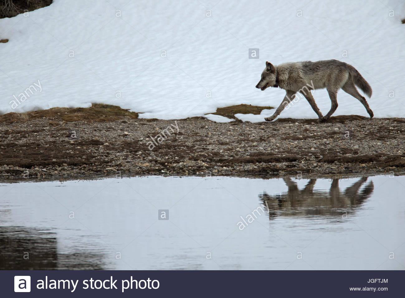 Ein grauer Wolf, Canis Lupus, ein Tracking-Halsband, Spaziergänge entlang der Yellowstone River. Stockbild
