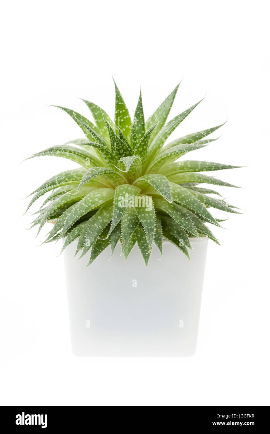 Sukkulenten Zimmerpflanze Aloevera in einem Topf isoliert auf weißem Hintergrund Stockfoto