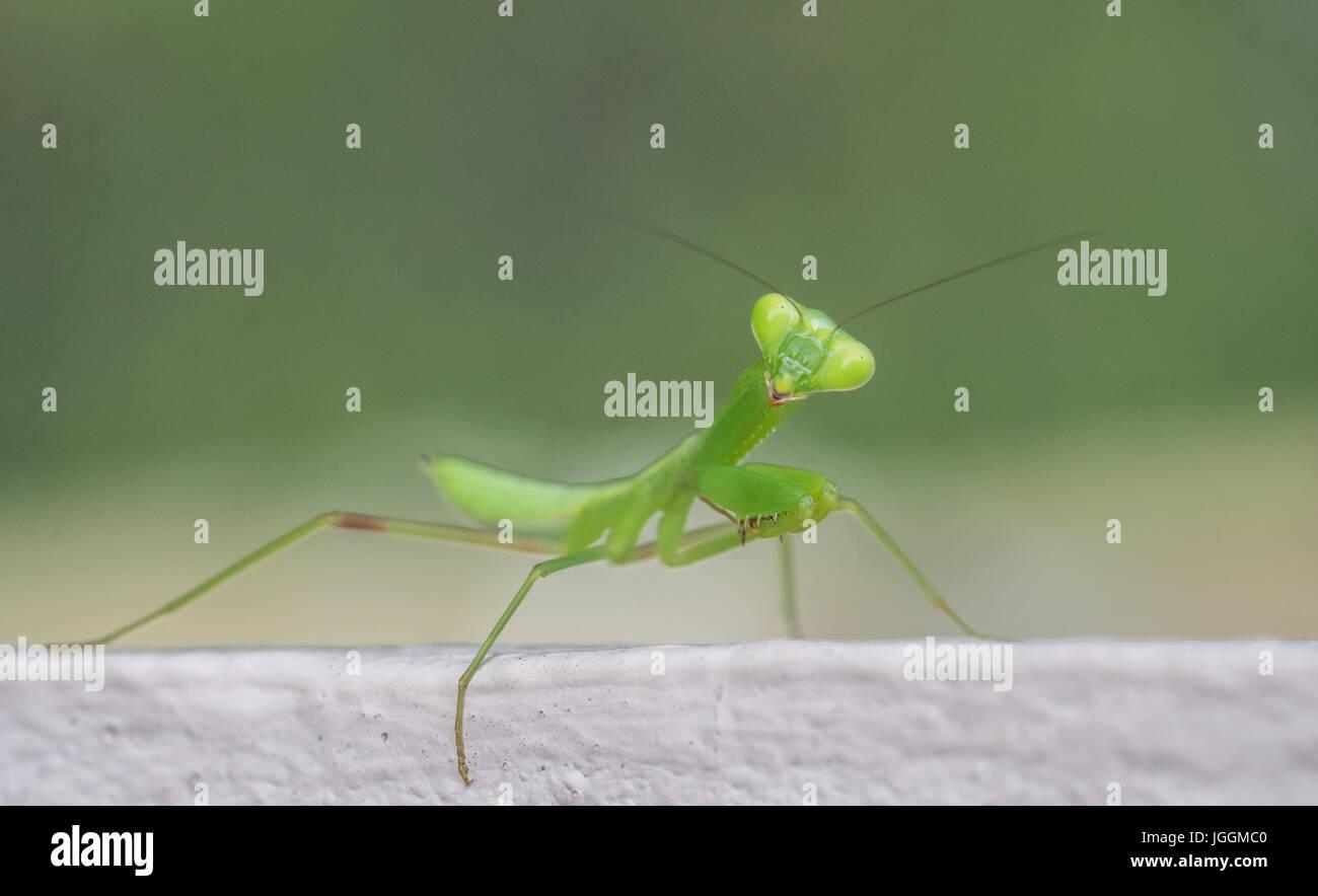 Nahaufnahme Makro grüne Heuschrecke Blick in die Kamera über unscharfen Hintergrund isoliert Stockfoto