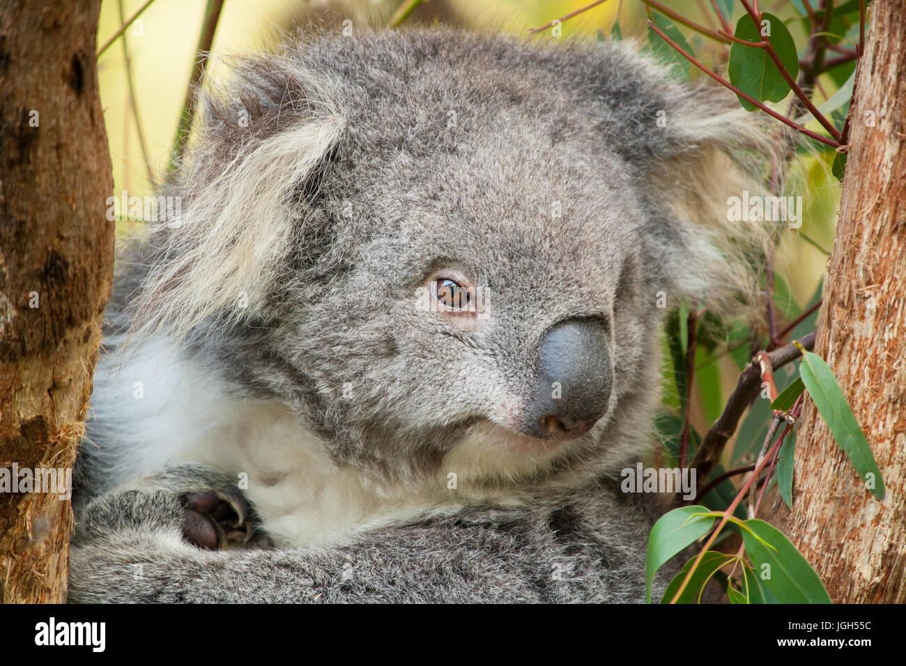 Berühmt Süße Koala Malvorlagen Fotos - Malvorlagen Ideen - blogsbr.info