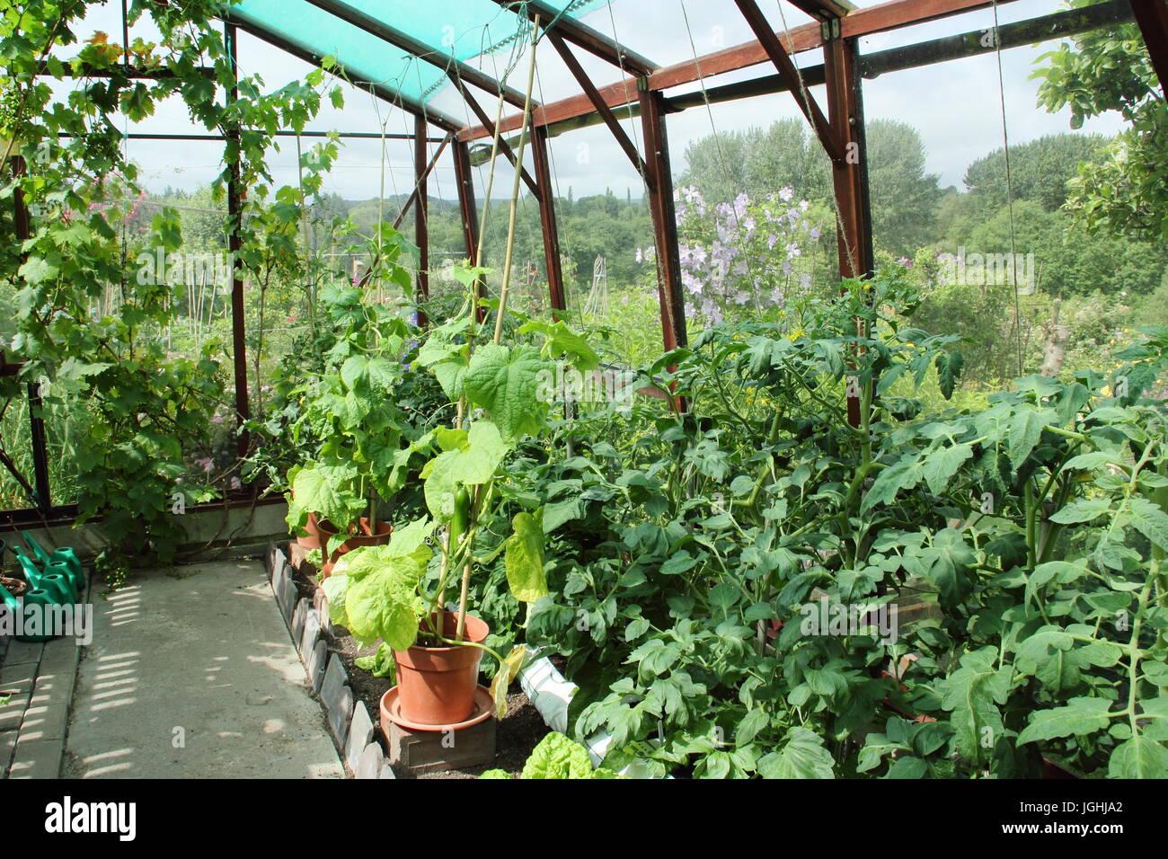 tomaten und gurken pflanzen in einem gew chshaus in einem englischen garten k che mittsommer. Black Bedroom Furniture Sets. Home Design Ideas