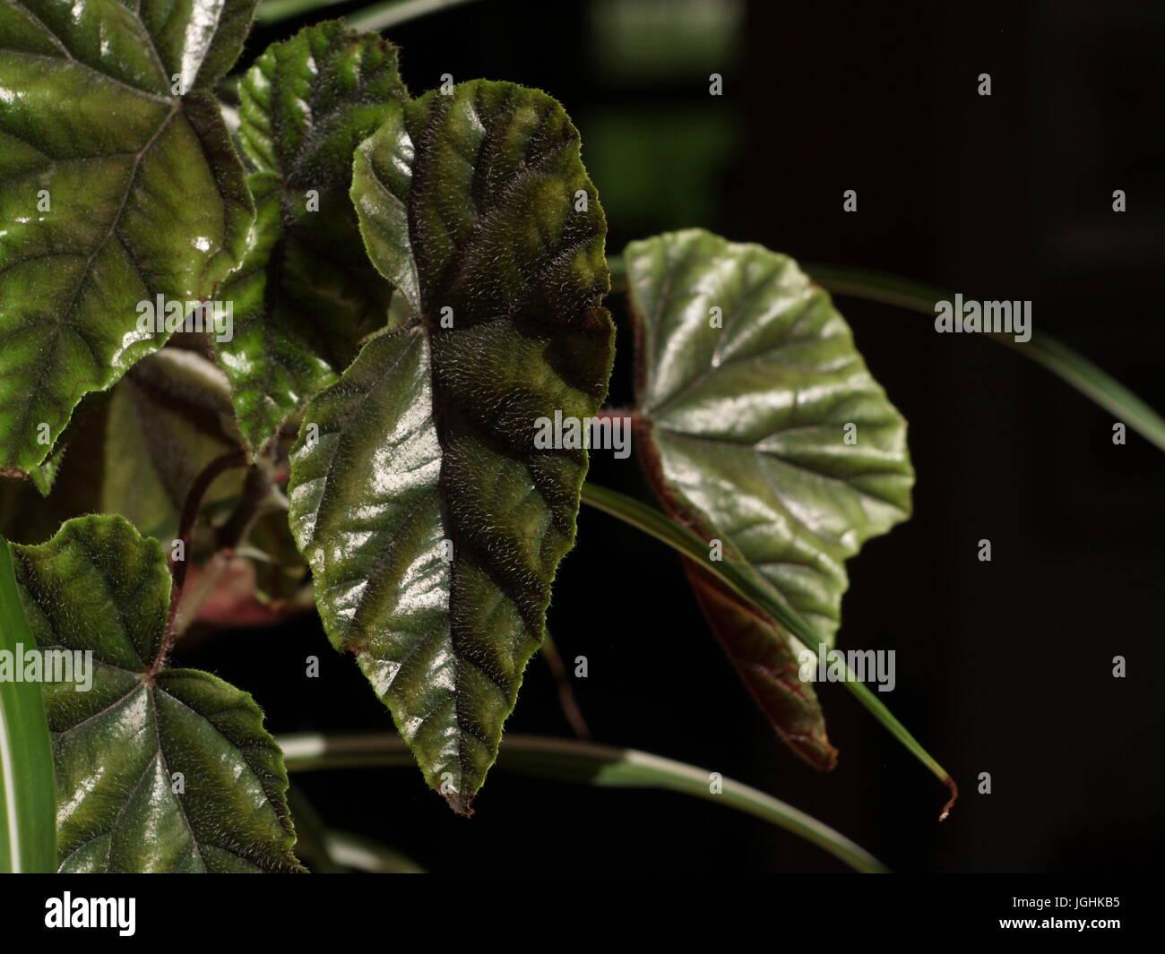 Rex begonia stockfotos rex begonia bilder alamy - Begonie zimmerpflanze ...