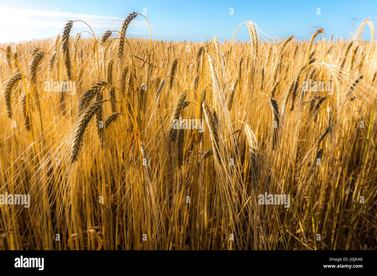 Eine Nahaufnahme von einer Ernte von Weizen in einem Feld früh an einem Sommermorgen, Langtoft, Lincolnshire, Stockbild