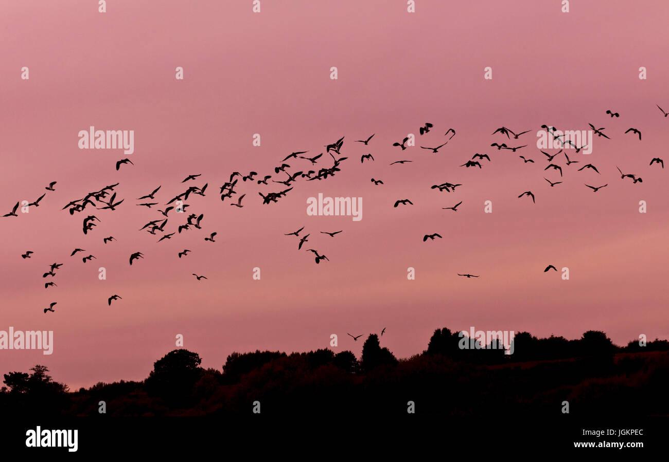 RS 0235. Hintergründe; Farben; Farben; Anzeige; Kiebitz, Grove Nature Reserve, Kent, UK Stockbild