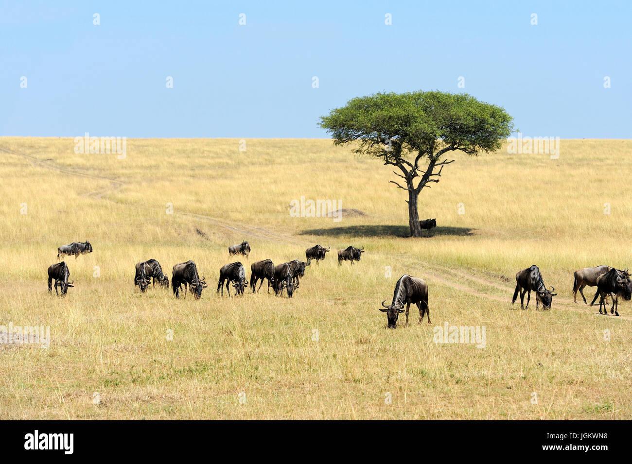 Gnus in der Savanne, Nationalpark in Kenia, Afrika Stockbild
