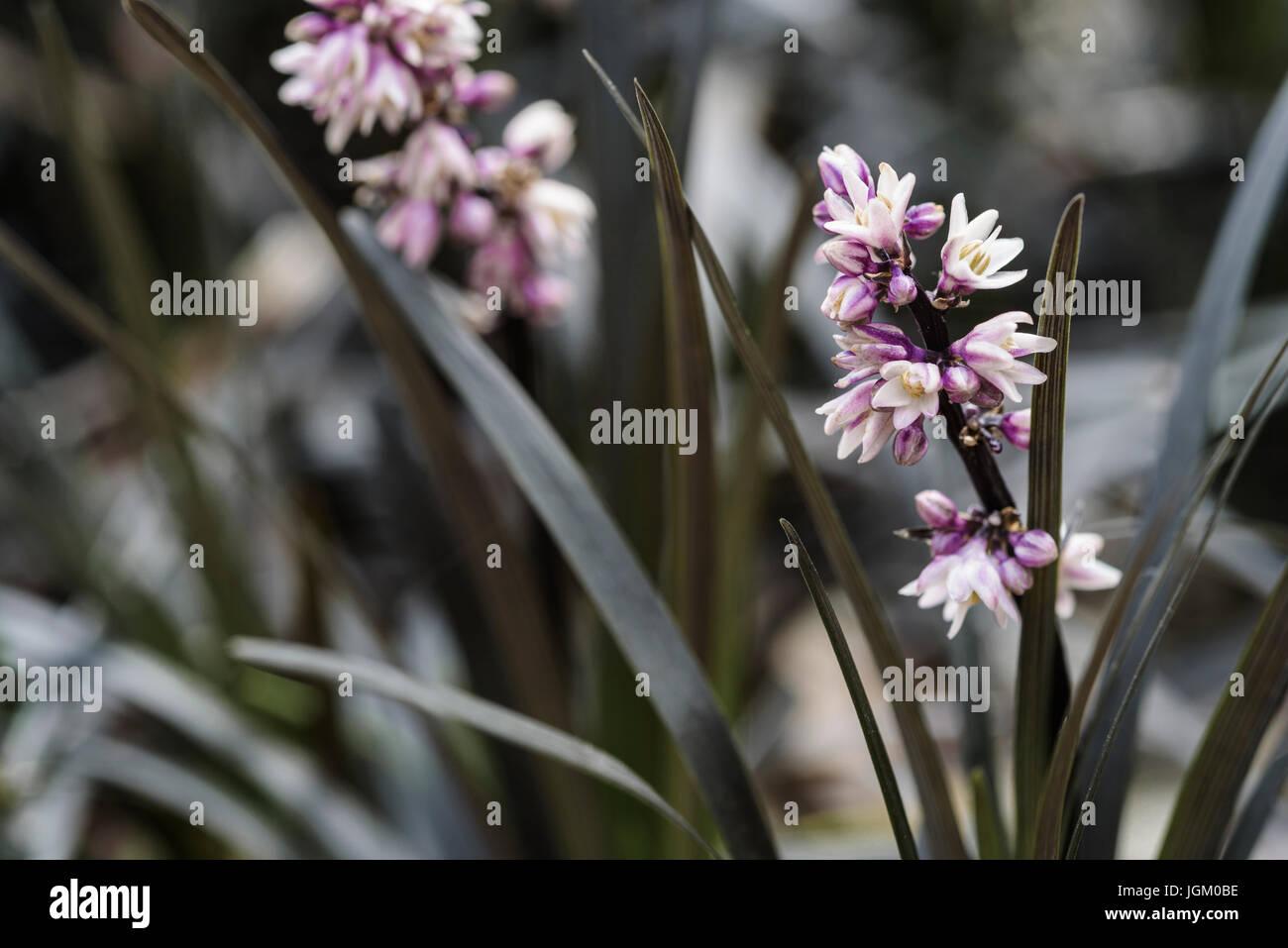 Ophiopogon Planiscapus hier, Lilyturf, Asparagaceae, Stockbild
