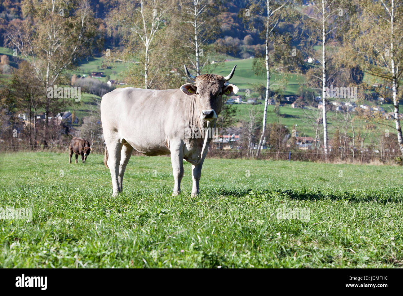 Kühe Auf der Weide Stockbild