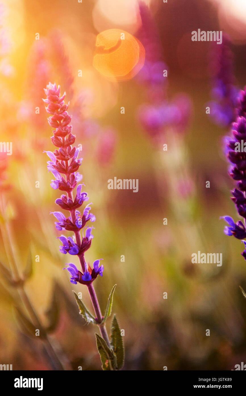 Lavendel Blume im Sonnenuntergang Stockbild