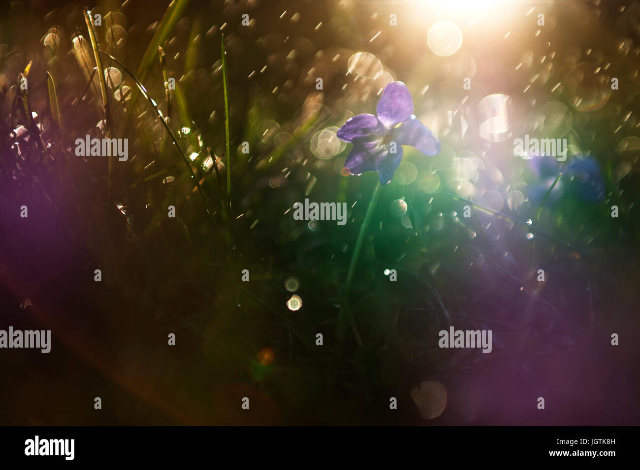 Violette Blume im Regen Stockbild
