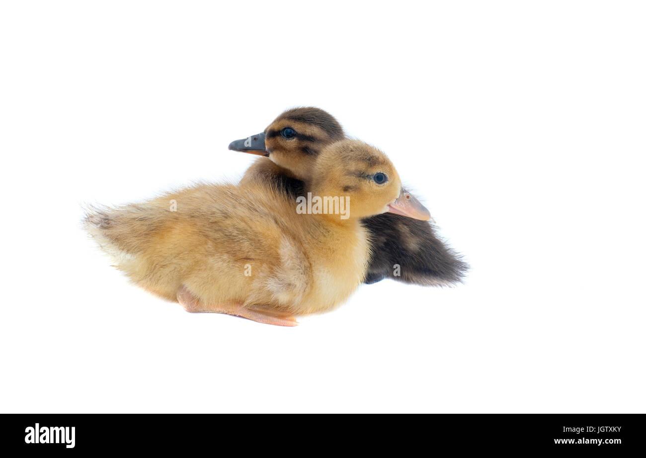 Baby-Enten sitzen und schauen in entgegengesetzte Richtungen, isoliert auf weiss. Stockbild