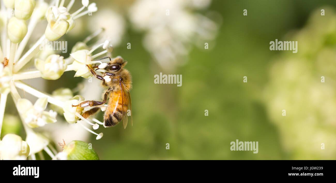 Sammeln von Blütenpollen auf weiße Blume mit grünen Hintergrund jedoch unscharf Stockbild