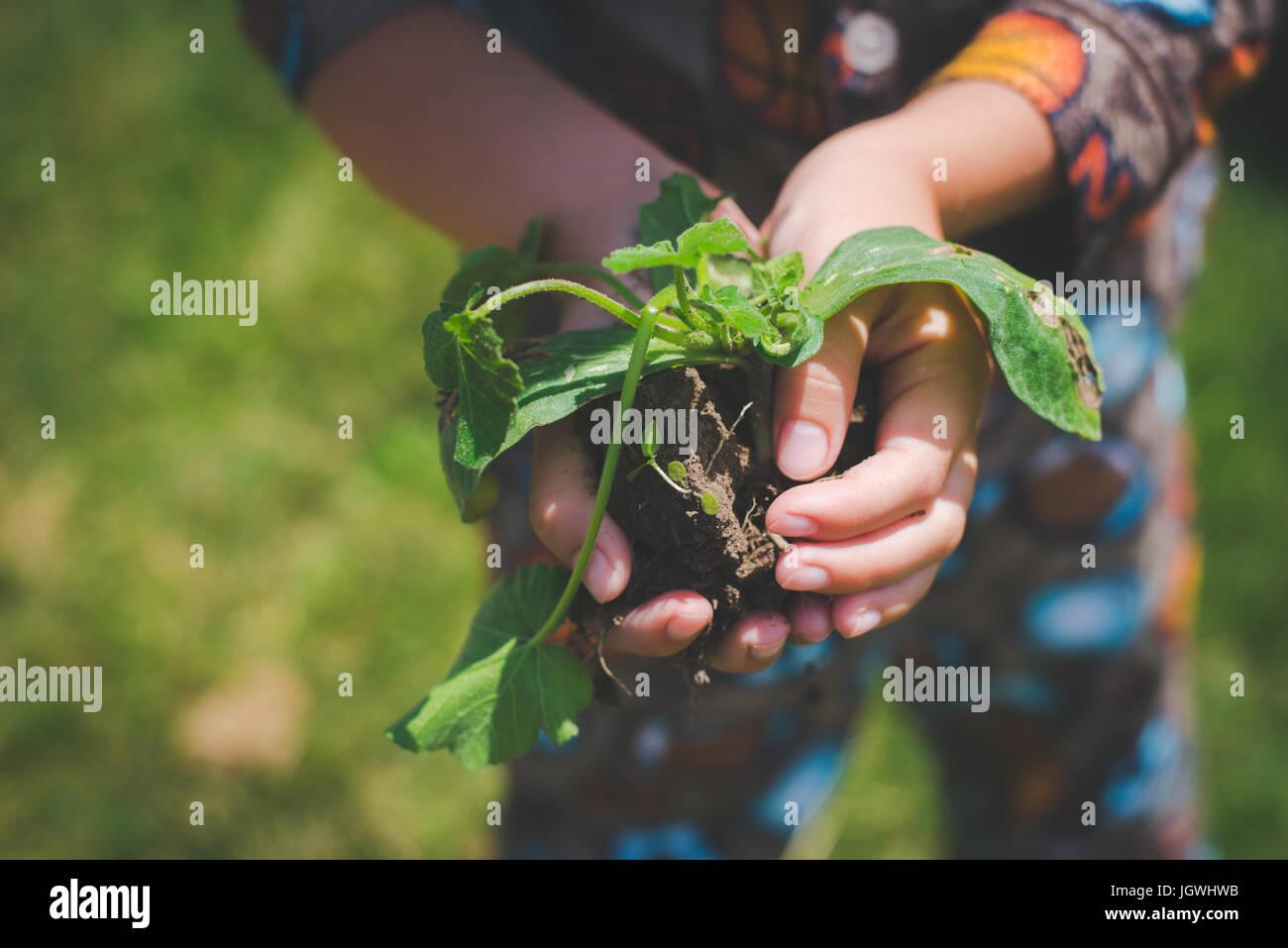 Eines Kindes Hände halten eine Pflanze mit Boden unter ihm. Stockbild