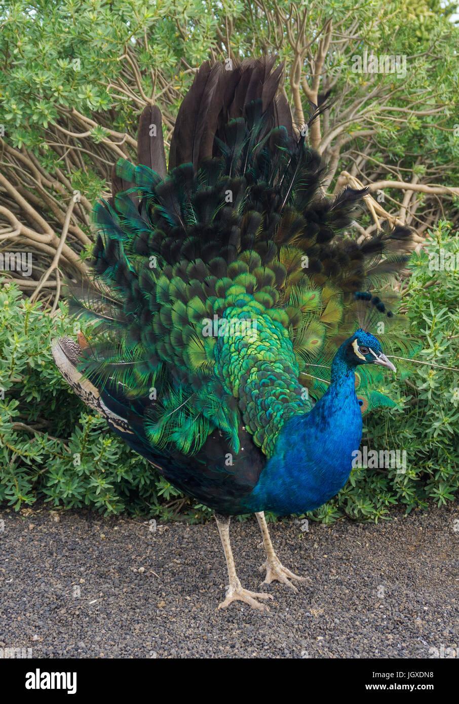 Rad schlagender Blauer Pfau (Pavo cristatus) im pardela Park, Las pardelas, Lanzarote, Kanarische Inseln, Europa Stockbild
