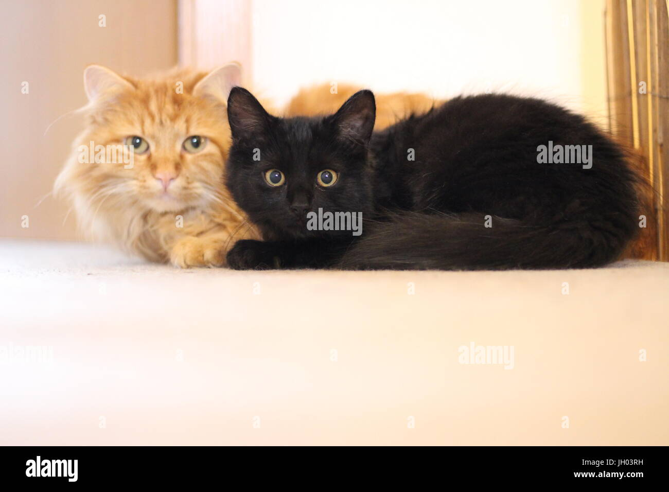 black tomcat stockfotos black tomcat bilder alamy. Black Bedroom Furniture Sets. Home Design Ideas