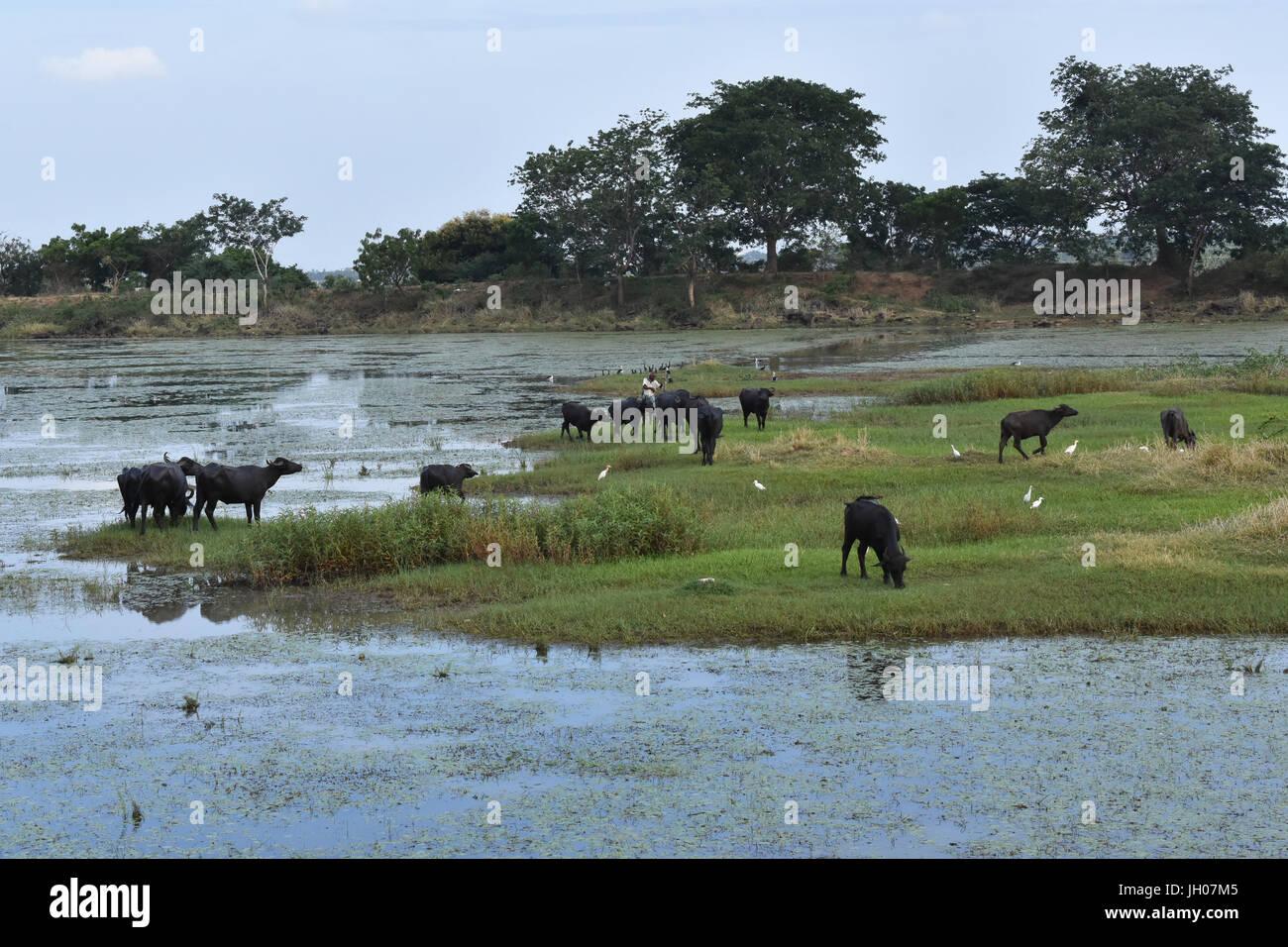 Indische Büffel Stockbild