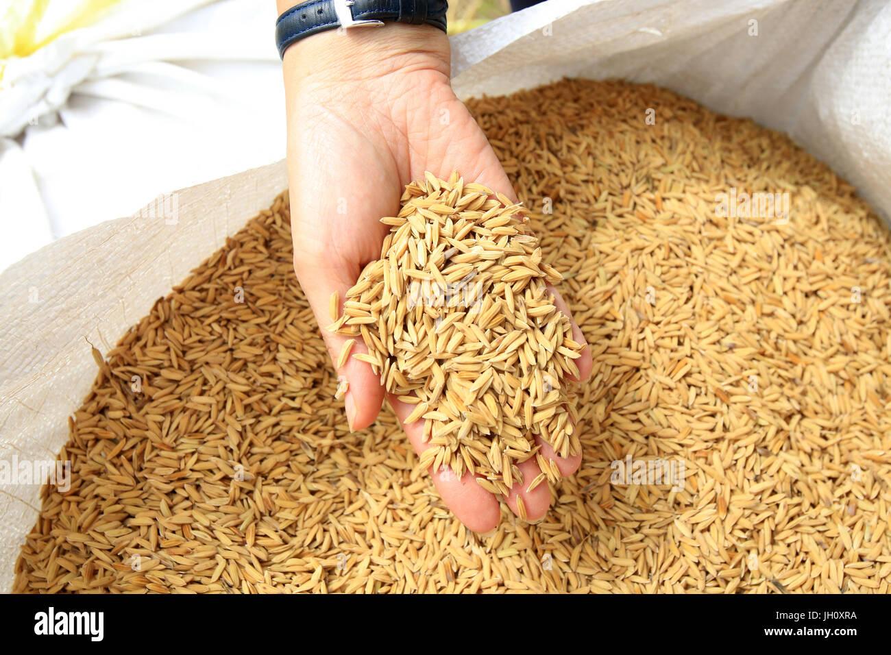 Landwirtschaft. Ernte. Reiskörner. Laos. Stockbild