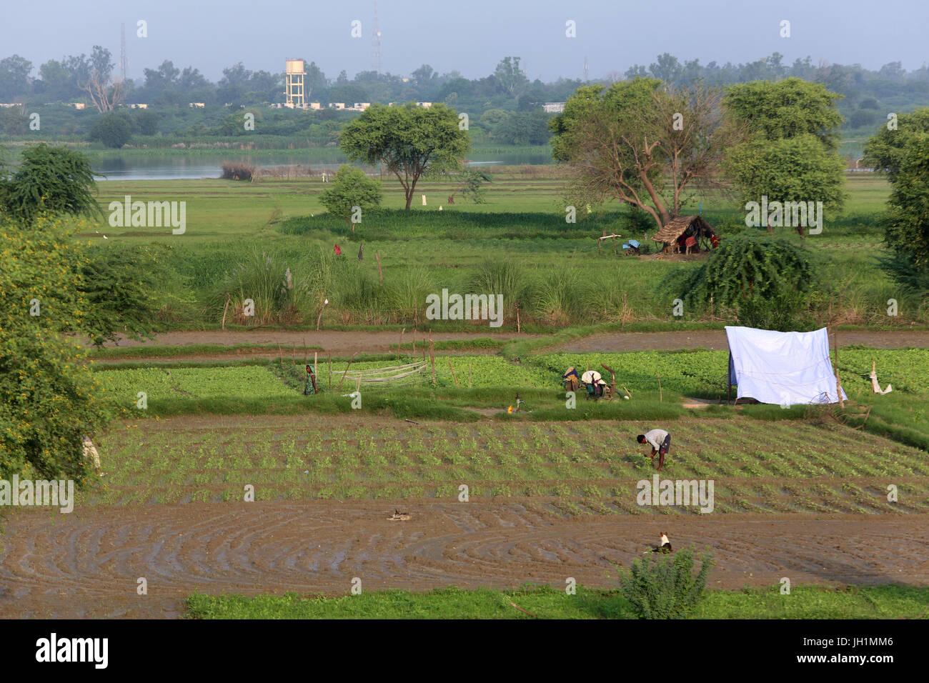Gemüseanbau in Rawal, Uttar Pradesh. Indien. Stockbild