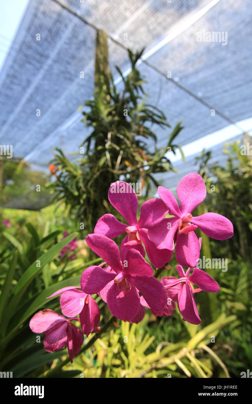 Anbau und Produktion von Orchideen.  Thailand. Stockbild