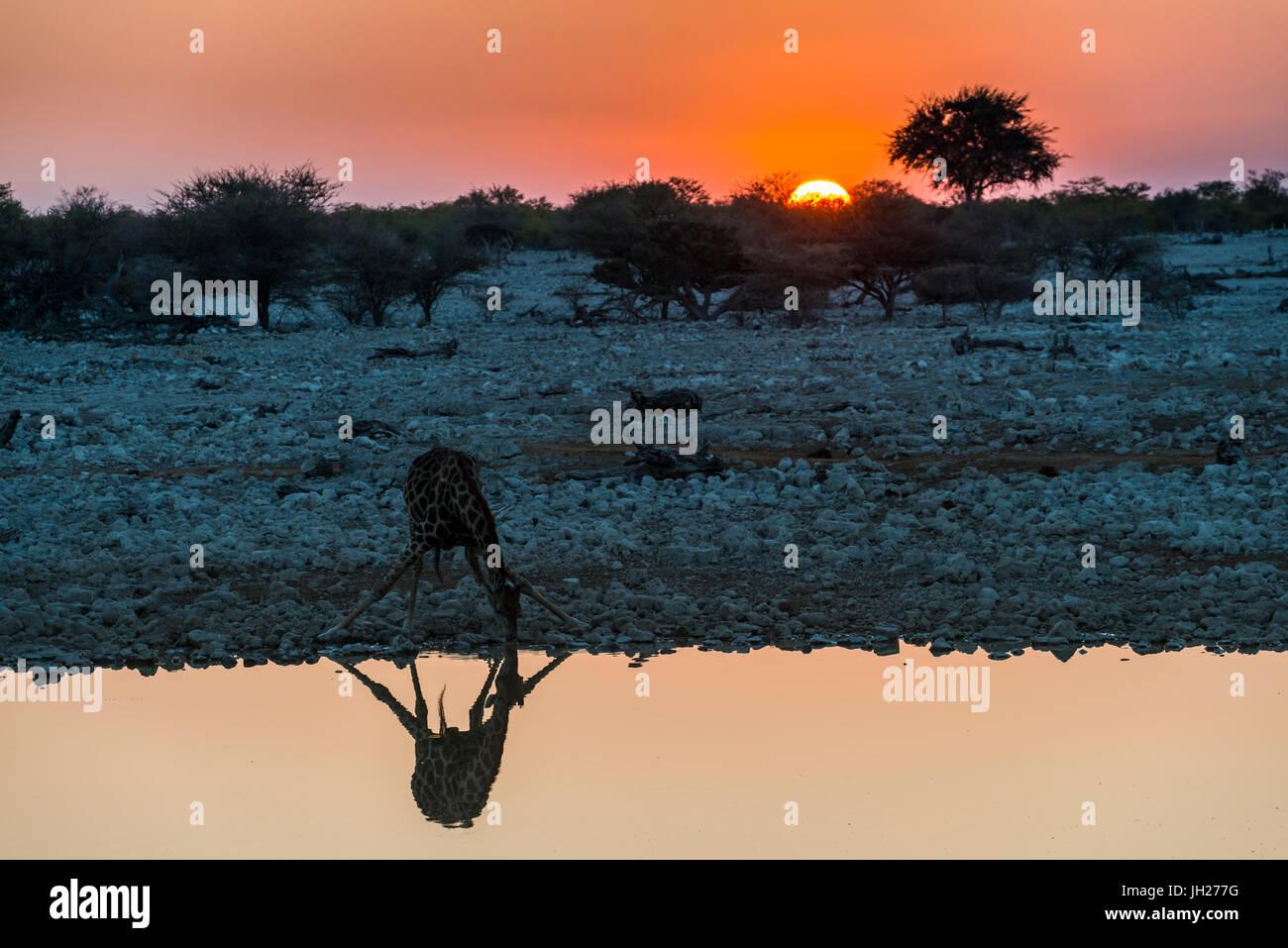 Giraffe spiegelt sich im Wasser ein Wasserloch, Okaukuejo Rest Camp, Etosha Nationalpark, Namibia, Afrika Stockbild