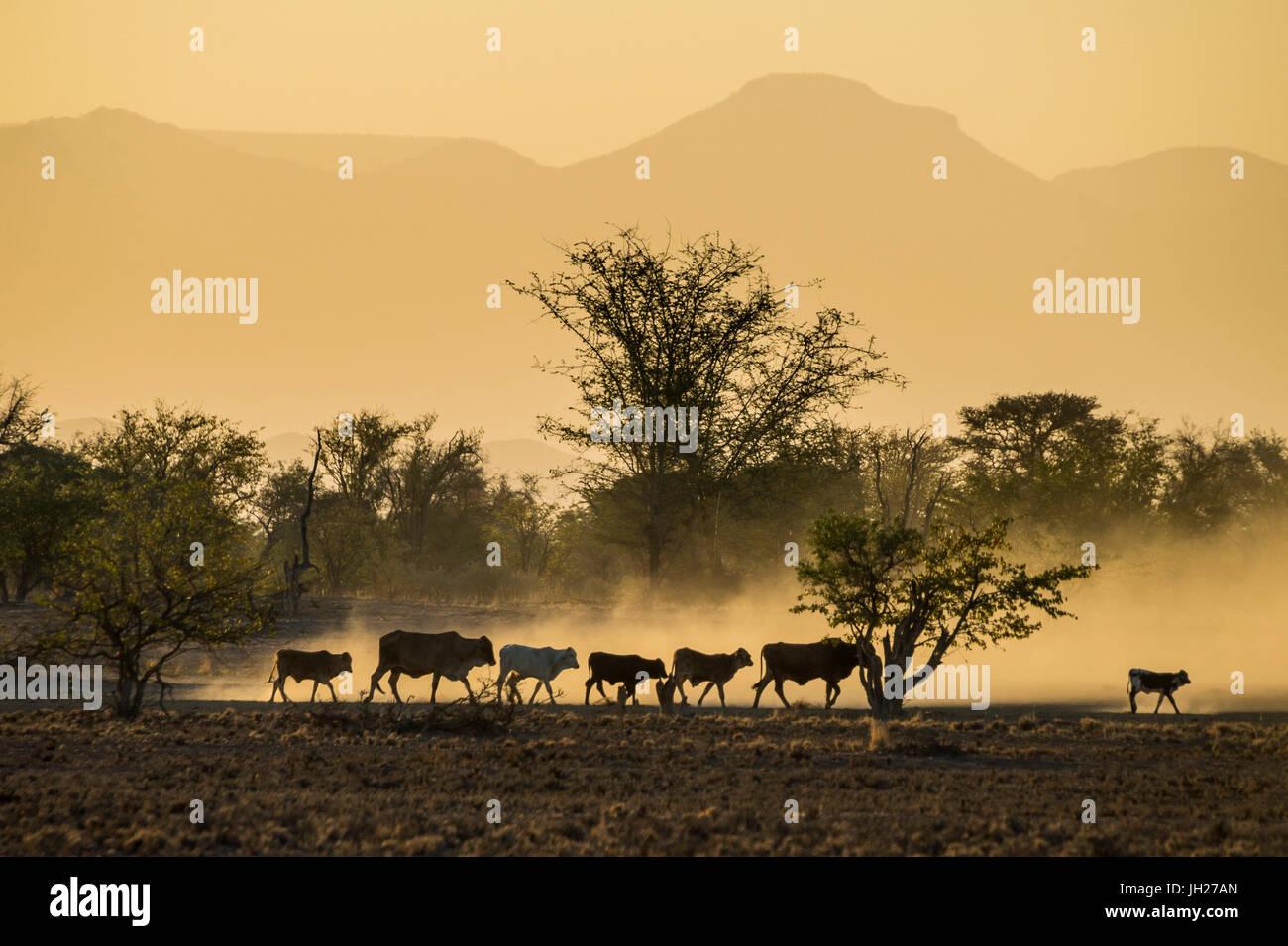 Hintergrundbeleuchtung von Rindern auf Heimweg bei Sonnenuntergang, Twyfelfontein, Damaraland, Namibia, Afrika Stockbild