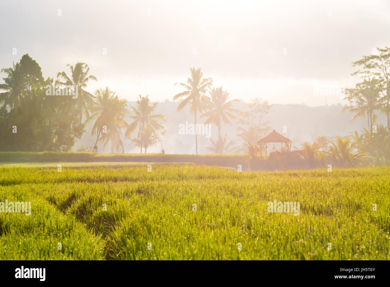 Blick über Reisfelder und Kokospalmen in Asien Stockfoto