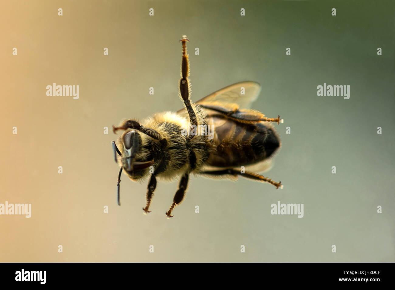 Einzelne britische Honigbiene (Apis) dargestellt hautnah durch Glas Transparenz, Hintergrund isoliert Stockfoto