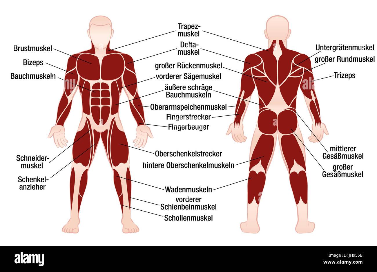 Ziemlich Menschlicher Arm Muskelanatomie Fotos - Menschliche ...