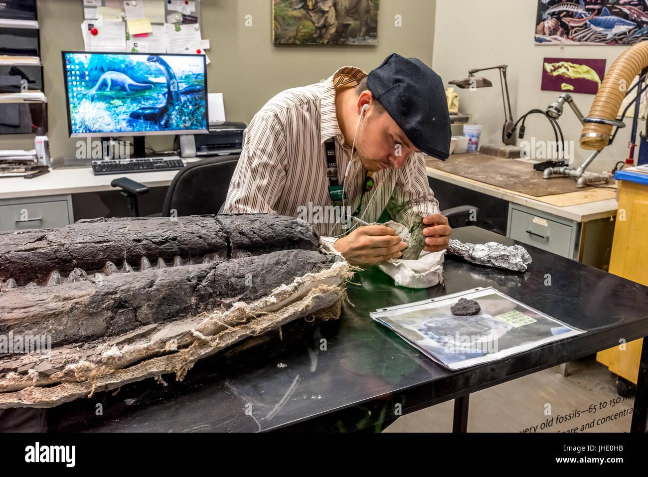 Ein Paläontologe im Museum of Natural History von Los Angeles reinigt Fossilien aus einem großen Ichthyosaurier in Nevada, der großen Kiefer neben ihm gefunden. Stockfoto