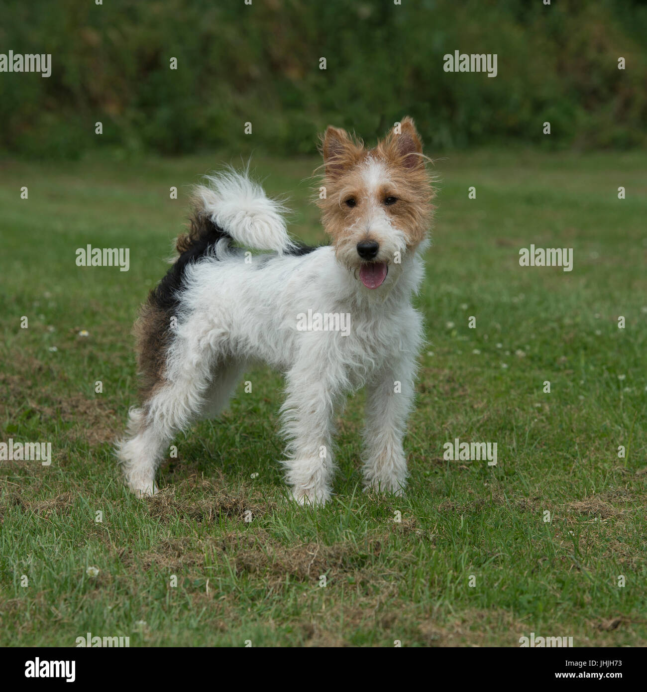 Wire Haired Fox Terrier Stockfotos & Wire Haired Fox Terrier ...