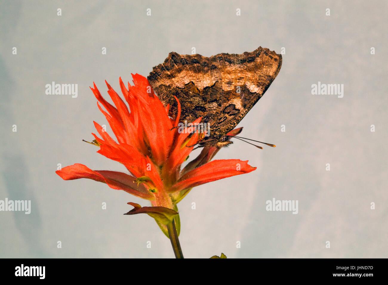 Ein Kalifornien Tortiseshell Schmetterling, auch bekannt als Western-Schildpatt, Nymphalis Californica, auf der Stockbild