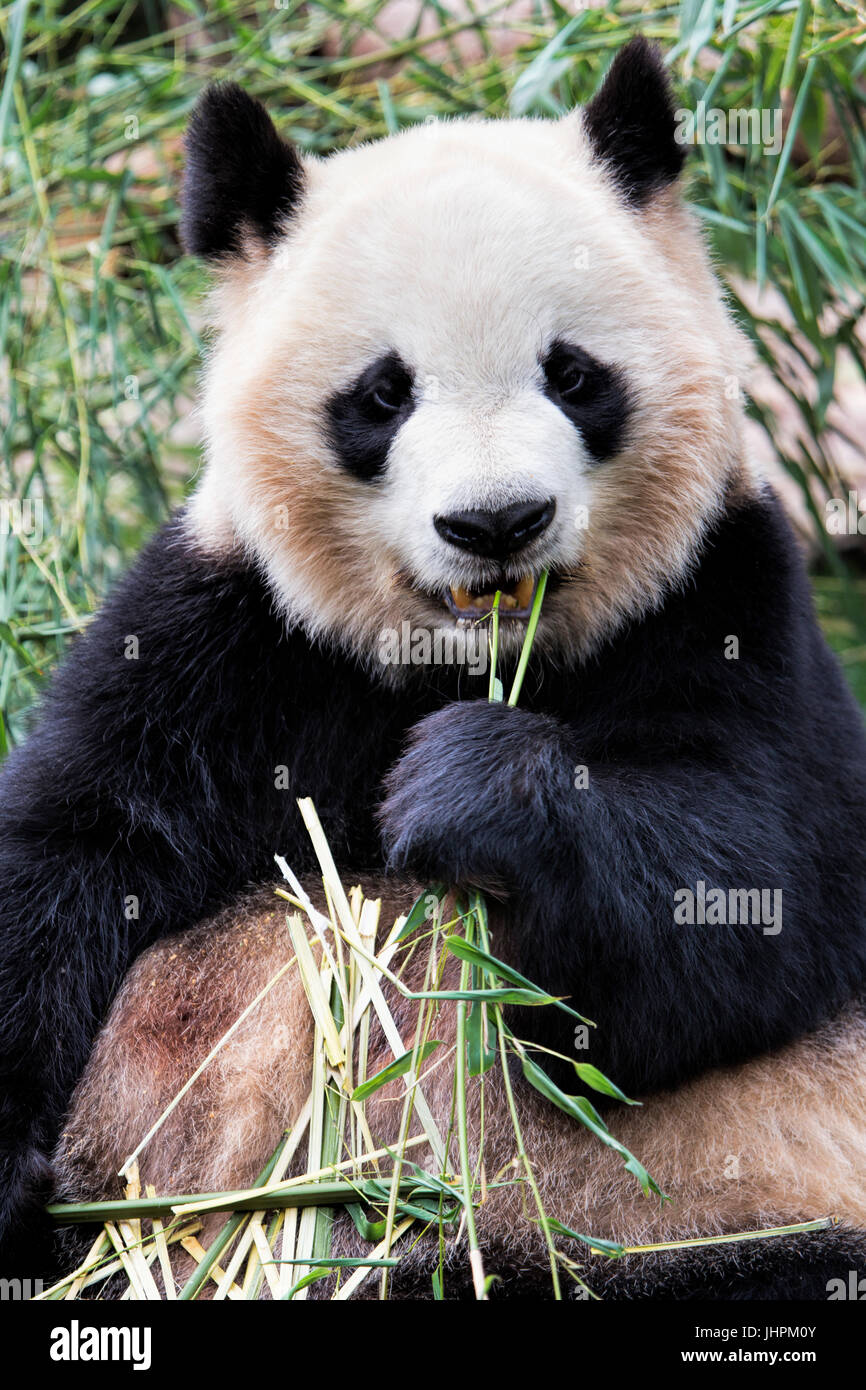 chengdu panda base stockfotos chengdu panda base bilder alamy. Black Bedroom Furniture Sets. Home Design Ideas