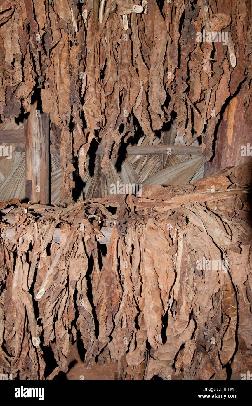 Trocknung von kubanischen Tabak für Zigarren in einem trocknen Schuppen in der Nähe von Vinalles Kuba Stockbild